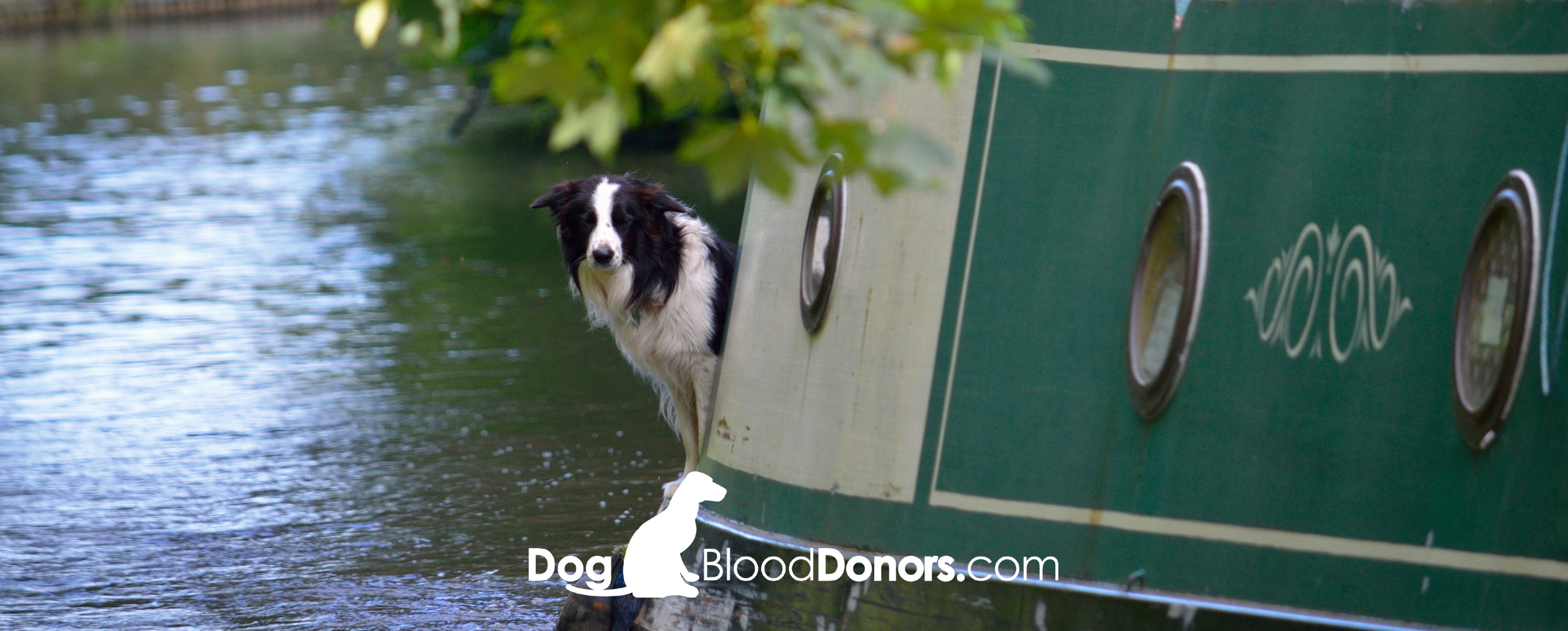 Dog Blood Donors